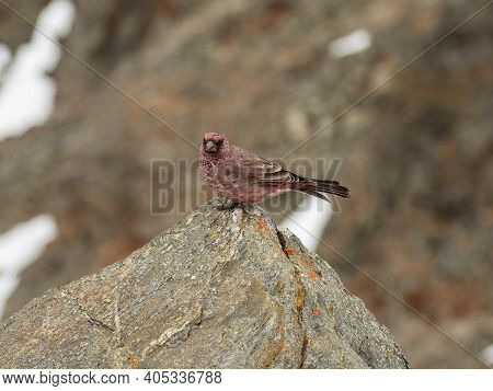 The Great Sayan Ridge. A Male Of Spotted Great Rosefinch (carpodacus Rubicilla) On A Rock.