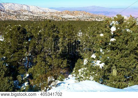 Alpine Coniferous Forest At A Pine Forest Covered With Snow Overlooking The Mojave Desert Taken On A