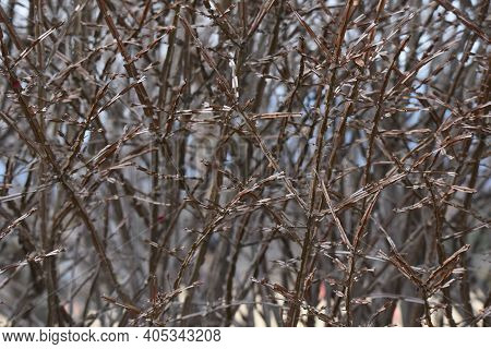 Euonymus Alatus Wings (winged Spindle Tree) In Winter.