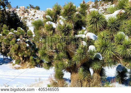 Joshua Trees Covered With Snow On Arid Badlands After A Winter Storm Taken At A Joshua Tree Woodland