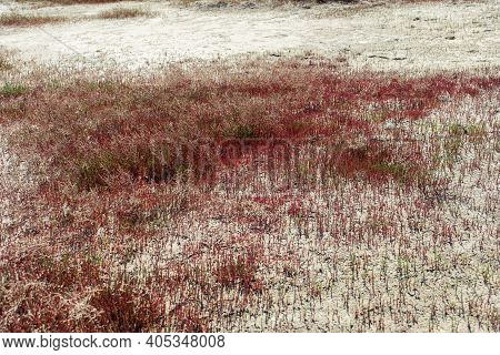 Red Grass On Shore Lake Ebeyty, The Largest Salt Lake In Omsk Region, Russia, Contains Therapeutic M
