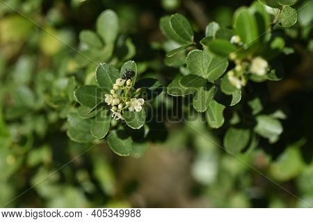 Japanese Holly / Ilex Crenata  Flowers / Aquifoliaceae Evergreen Shrub.