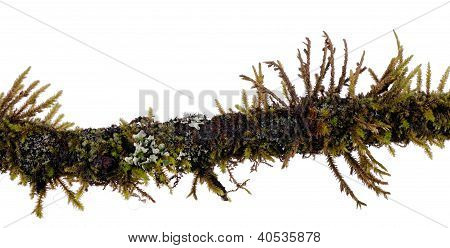 Mossy Twig With Algae, Lichen Isolated Over White Background - Macro