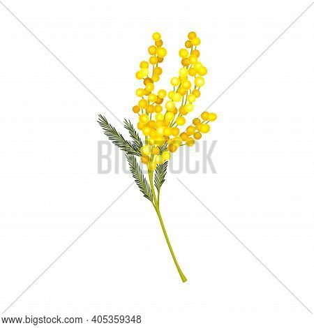 Acacia Dealbata Or Mimosa With Bipinnate Leaves And Yellow Racemose Inflorescences Vector Illustrati