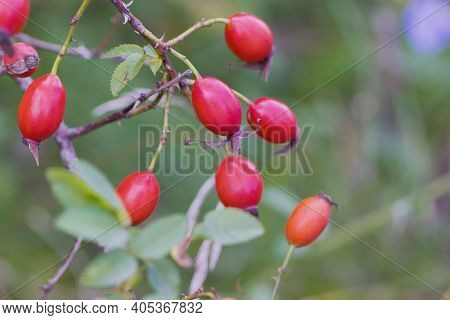 Red Rose Hips On A Branch With Leaves. Red Ripe Rose Hips Growing On A Bush In The Garden. Medicinal