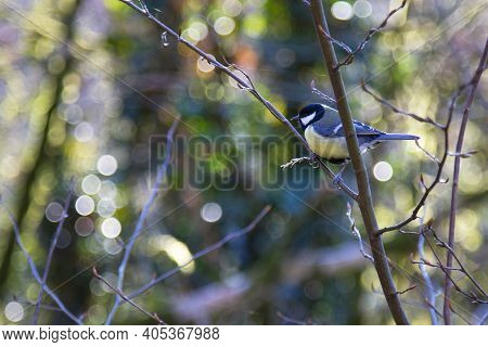 Great Tit Parus Major A Small Bird With A Yellow Breast On A Tree Branch Close-up, Spring
