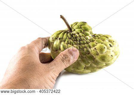 Hand Hold Sugar Apple ( Custard Apple, Annona, Sweetsop,cherimoya Fruit )  On White Background