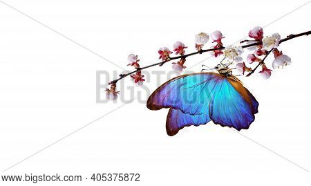 Bright Blue Morpho Butterfly On White Spring Flowers. Apricot Blossom Branch Isolated On White. Copy