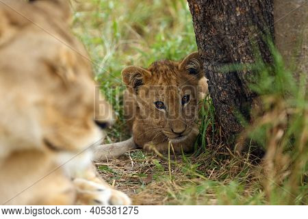 Transvaal Lion (panthera Leo), Also Known As The Southeast African Lion, Cub Peering Out From Behind