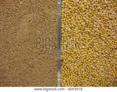 Corn and wheat grains separated by a shiny steel bar poster