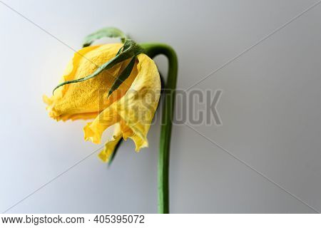 A Faded Yellow Rose On White Background
