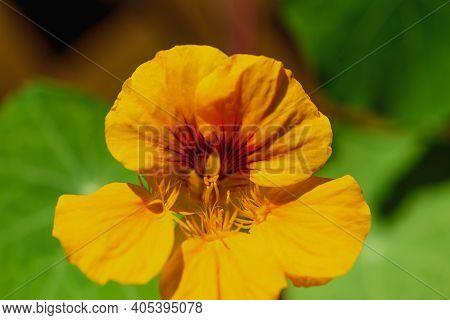 Blossom Flower Of Garden Nasturtium, Indian Cress, Or Monks Cress, Close Up And Soft Focus Photo. Tr