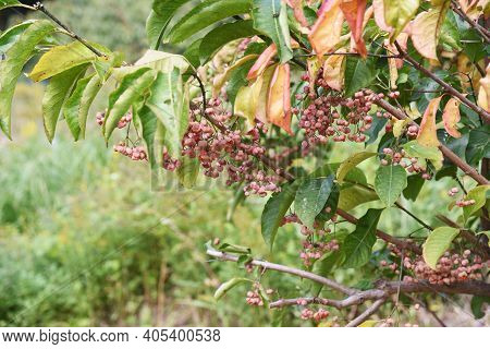 Japanese Spindle Tree (euonymus Hamiltonianus) Berries In Autumn