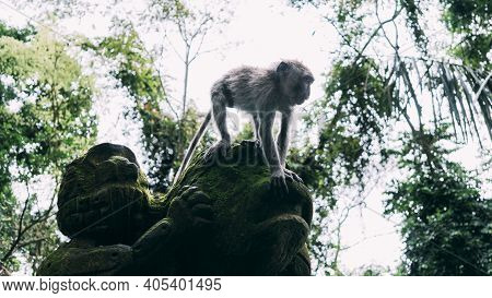 Small Gray Monkey Climbs Down Green Mossy Stone Statue Of Monkey In Bali, Indonesia.