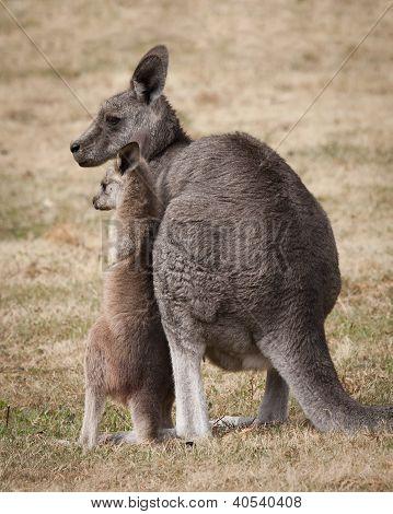 Mom and baby kangaroo