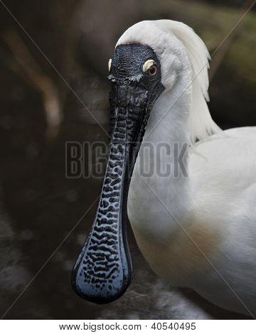 Beautiful spoonbill