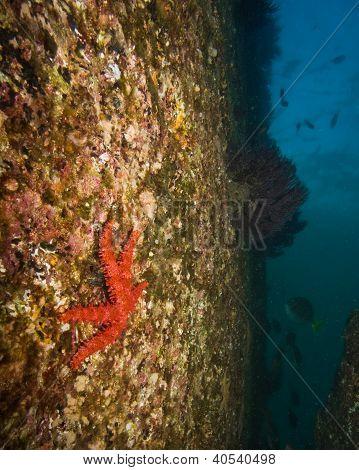 Sea star on rock wall