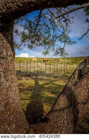 View Of Wild Cows Framed Between Trees