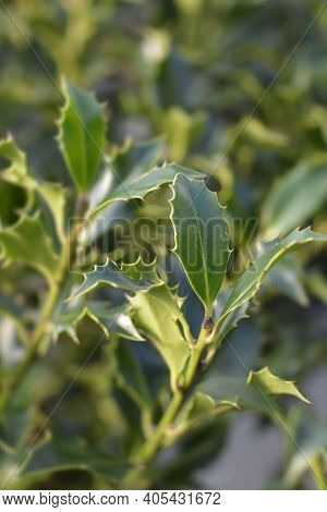 Holly Alaska Leaves - Latin Name - Ilex Aquifolium Alaska