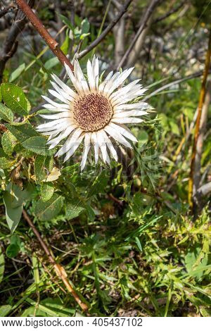 Stemless Carline Thistle In Vanoise National Park Valley, Savoy, French Alps