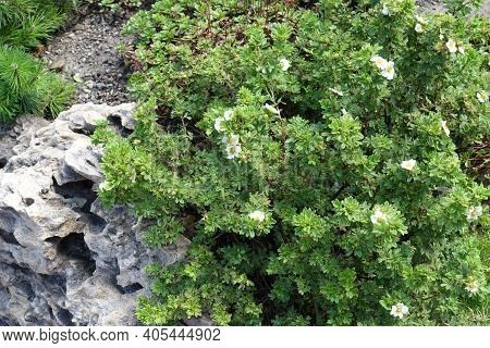 Multiple White Flowers In The Leafage Of Dasiphora Fruticosa In July