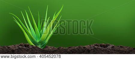 Aloe Vera Plant On Soil, Aloe Vera Leaf On Dirt Plantation, Aloe Vera And Copy Space For Text