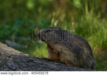 Marmota Monax, Groundhog Known From Movie Groundhog Day With Punxsutawney Phil For Weather Forecast