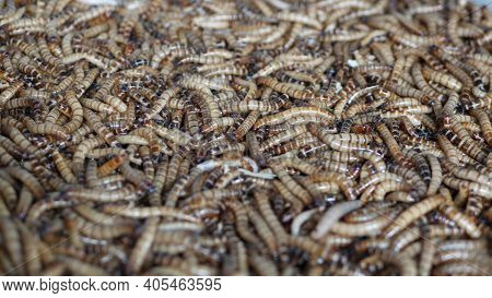 Many Beetle Larvae Crawling In Container. Small Alive Mealworms For Food Preparation Crawling On Bot