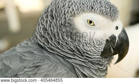 Red-tailed Monogamous African Congo Grey Parrot. Companion Jaco Is Popular Avian Pet Native To Equat