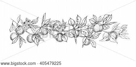 Orange Tree Branch With Ripe And Green Oranges, Flowers And Leaves. Element For Design. Graphic Draw