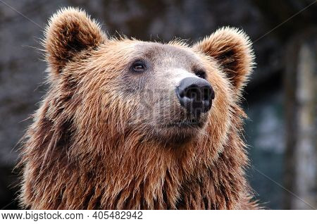 Portrait Of Closeup Of Long Furred Bear The Background Is Blurred. Carnivoran Mammals With Stocky Le