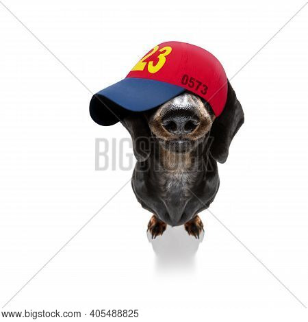 Cool Casual Look Dachshund Dog Wearing A Baseball Cap Or Hat , Sporty And Fit, Hinding Eyes Under Ha