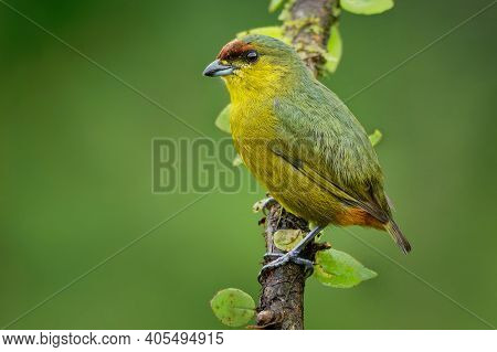 Olive-backed Euphonia - Euphonia Gouldi Small Passerine Bird In The Finch Family, Resident Breeder I