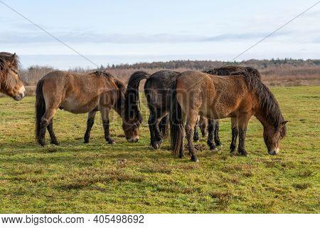 Herd Of Wild Exmoor Ponies, Equus Ferus Caballus, Graze In A Nature Reserve, The Netherlands