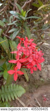 Ashoka Flower Which Is Red In Color Is One Of The Flowers In Indonesia