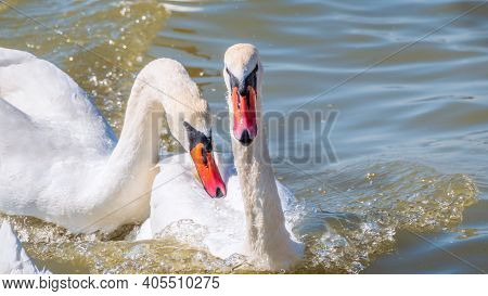Two Adult Mute Swan Fighting , Chasing Each Other In The Water. One White Swan Nibbles Another Swan