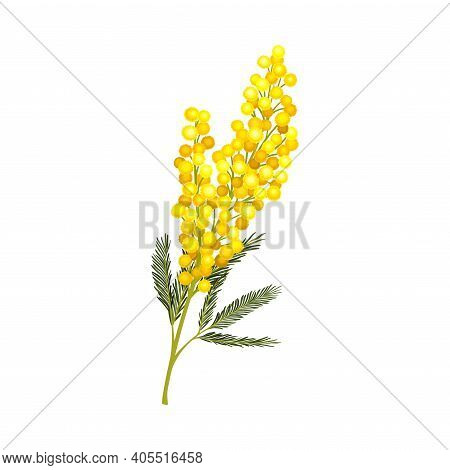 Branch Of Mimosa Or Silver Wattle With Bipinnate Leaves And Yellow Racemose Inflorescences Vector Il