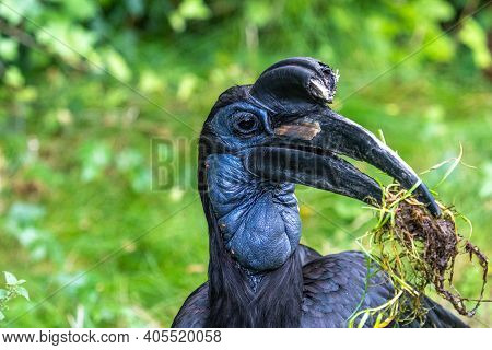 The Abyssinian Northern Ground Hornbill, Bucorvus Abyssinicus Or Northern Ground Hornbill Is An Afri