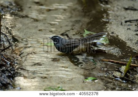 White-throated Fantail (rhipidura Albicollis)
