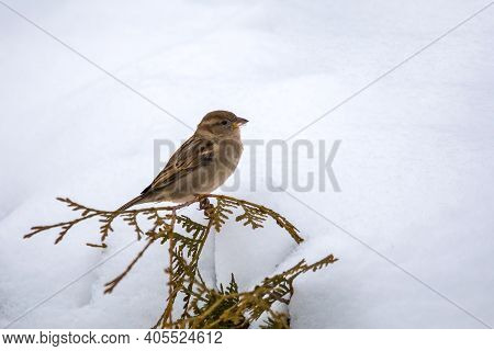 Eurasian Tree Sparrow Female (passer Montanus), Passerine Bird In The Sparrow Family Perched On Flow
