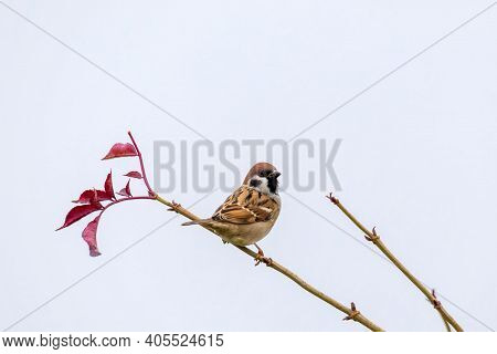 Eurasian Tree Sparrow Male (passer Montanus), Passerine Bird In The Sparrow Family Perched On Flower