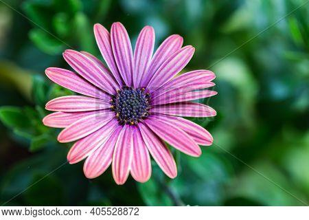 Aster Flower. Flower In Garden At Sunny Summer Or Spring Day. Colorful Flower. Flower For Postcard B