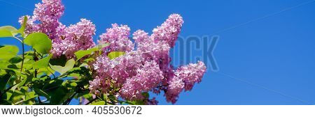 Lilac Bush Over Sky Background. Lilac Flowers In Garden Or Park. Nature Background, Banner.natural B