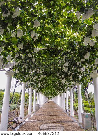August 2018 - Yantai China: Pergola Covered In Grape Vines And Bunches Of Grapes Covered In Bags At