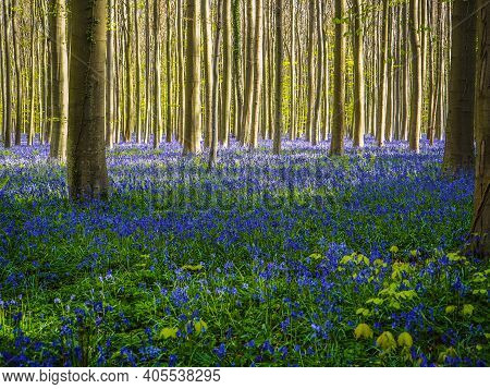 A Vibrant Blue And Purple Bluebell Wood During Spring In The Forest, With Long Early Morning Sunbeam