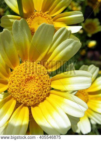 Summer Flower. Chamomile. The Sun. Summer. Pharmaceutical Camomile. Seeds.