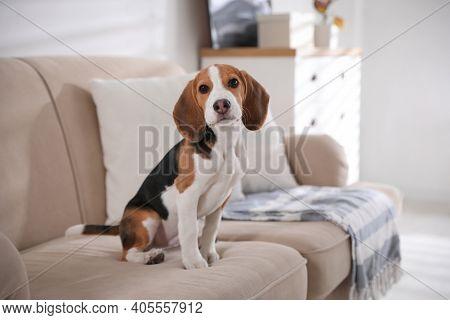 Cute Beagle Puppy On Sofa Indoors. Adorable Pet
