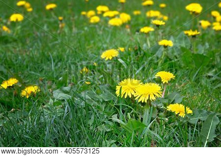 Yellow Dandelion On Green Meadow In Summertime. Summer Landscape In Forest. Flowers With Yellow Peta