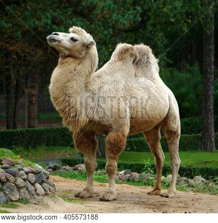 This Two-humped Camel At The Zoo Looks Very Proud
