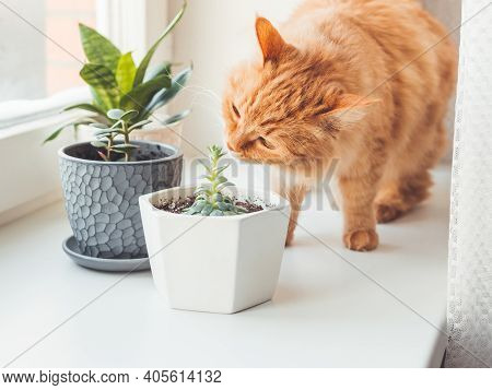 Cute Ginger Cat Sniffs Indoors Plants. Flower Pots With Crassula And Sansevieria. Fluffy Pet Smells